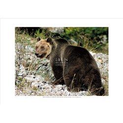 MARSICAN BROWN BEAR Ursus Arctos Marsicanus