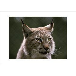 LINCE Lynx Lynx