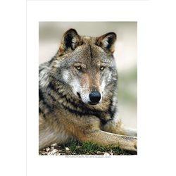 APPENINE WOLF Canis Lupus